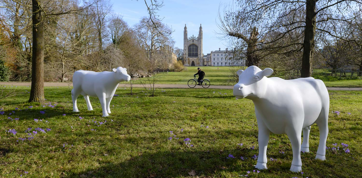 cows-about-cambridge-college