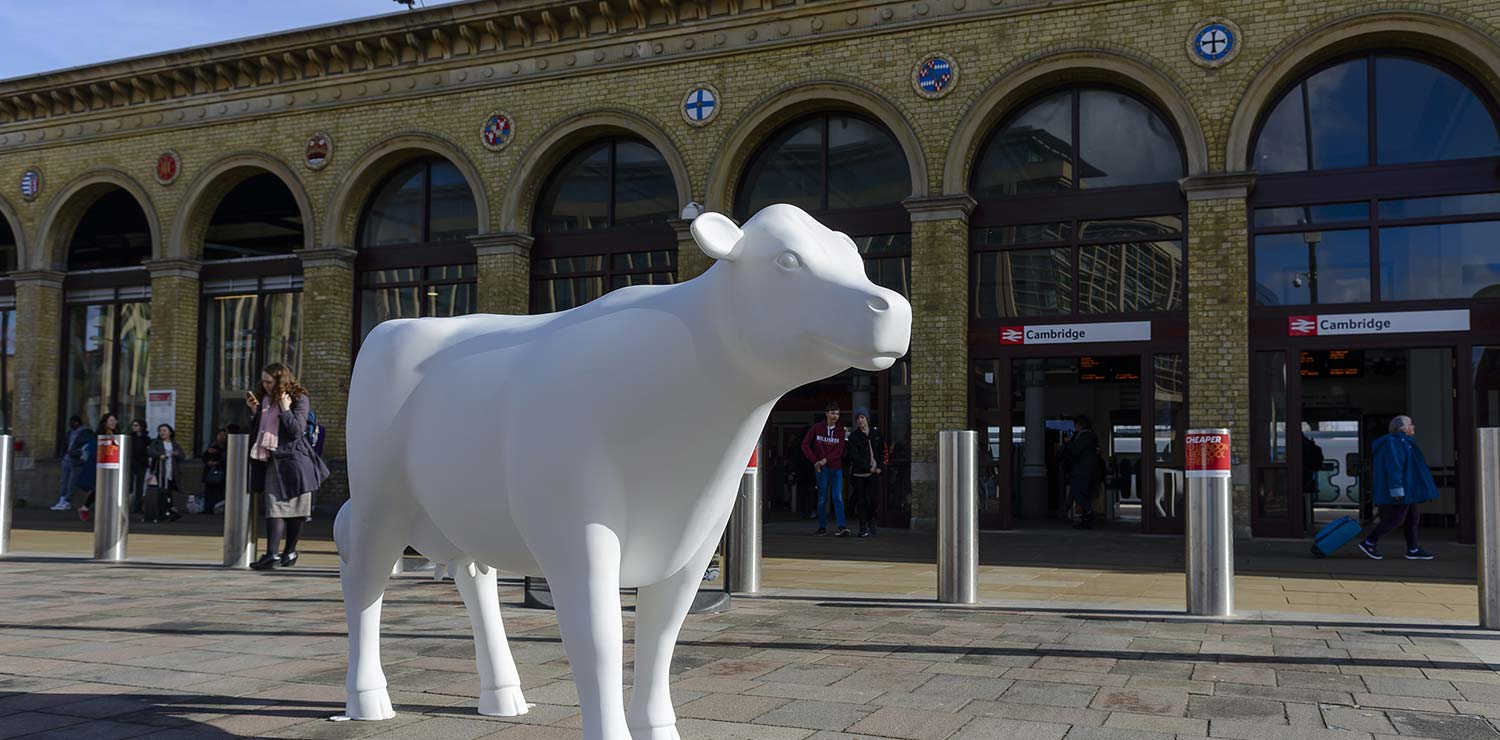cows-about-cambridge-station